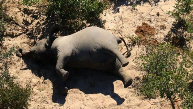 حادثة غير مسبوقة لموت غامض يصيب مئات الفيلة في أفريقيا الجنوبية والعلماء يحذرون من كارثة صحّية %D9%81%D9%8A%D9%84%20%D9%85%D9%8A%D8%AA