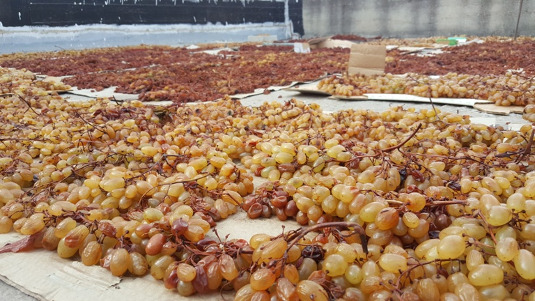 جمع العنب تمهيدًا لتجفيفه
