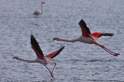 تحركات من نشطاء حماية البيئة في قبرص لوقاية طيور الفلامينغو من مخلفات الصيد